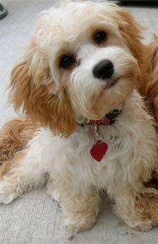 Cavapoo    Cavalier King Charles Spaniel /Poodle Mix