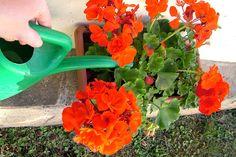 Ne hagyd, hogy muskátlid levelei elsárguljanak! Megmutatjuk, mit tegyél! - www.kiskegyed.hu Watering Can, Geraniums, Bonsai, Herbs, Neon, Vegetables, Plants, Gardening, Recipes