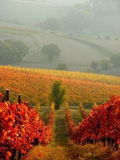 Grapes on the Vine - Marche, Italy  #Italy  #Italia #Italie #Italien