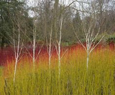 This would be beautiful in a sunny rain garden. An oustanding demonstration of the value of winter stems: a Rasta combination of dogwoods and birch at the Savill Garden. Garden Shrubs, Landscaping Plants, Garden Plants, Herb Garden, Vegetable Garden, Landscape Architecture, Landscape Design, Savill Garden, White Birch Trees