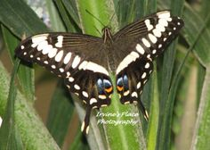 Butterfly took picture while visiting the Butterfly Palace in Branson MO Phot by Rachael Irvine, Irvine's Place Photography