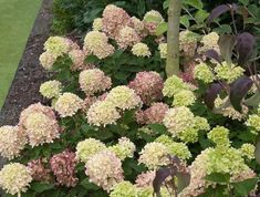 Proven Winners - Little Lime® - Panicle Hydrangea - Hydrangea paniculata green pink green, turning pink in fall plant details, information and resources. Dwarf Hydrangea, Limelight Hydrangea, Hydrangea Care, Hydrangeas, Hydrangea Paniculata, Hydrangea Landscaping, Landscaping Plants, Landscaping Ideas, Little Lime Hydrangea