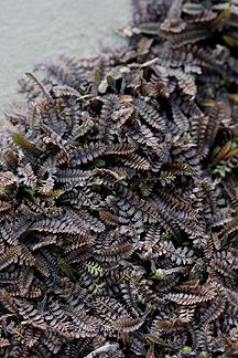 """Cotula leptinella 'Platt's Black'  """"Dollhouse Fern"""". I like this for the more steampunky parts of the goth garden. (Steampunk isn't the same as goth, but they're sympathetic to each other and deserve to have gardens to share with each other.)"""