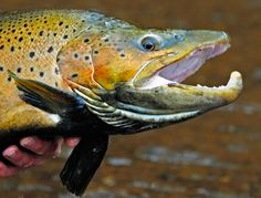 close up photo of a huge male brown trout head, a horizontal crop from a vertical photo, the only cropped image on this web page
