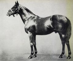 St Frusquin, At stud in Great Britain from 1897.  Champion Sire GB/Ireland in at least 1903, 1907.  Mare offspring considered as gold  Died August 25, 1914.