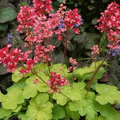 Heuchera Little Cutie 'Sweet Tart' - Coral Bells - Bright, bold, lime coloured foliage in a tight mound topped with bicoloured rich cerise and pale pink flowers held on dark stems in wand-like clusters. Blooms all spring, summer, and fall. The Little Cutie series is a group of dwarf coral bells perfect for small containers, centrepieces, living walls and pathways.