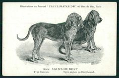 Saint-Hubert Bloodhound Dog Breed original 1900s old L'Acclimatation postcar