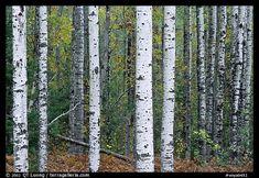 Birch tree forest. Voyageurs National Park, Minnesota