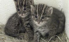 Columbus Zoo and Aquarium – the adorable fishing cat kittens - now 6 weeks