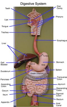 the anatomy of the human digestive system Digestive System Anatomy, Human Digestive System, Human Body Anatomy, Human Anatomy And Physiology, Nclex, Arte Com Grey's Anatomy, Human Body Organs, Human Body Unit, Nursing School Notes