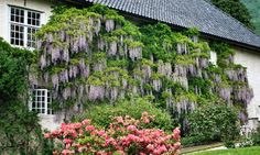 Norways biggest Wisteria at Baroniet