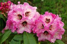 Rhododendron 'Karlštejn'