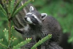 Baby raccoons separated from their mothers are defenseless.