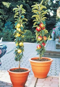 Columnar Apple Trees for Patios & Small Yards