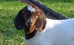 A good article about caring for goats, from food to shelter and everything in between.