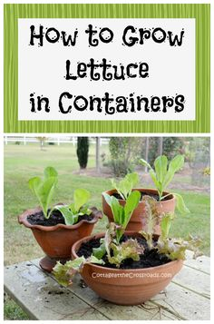 Gardening With Containers How to Grow Lettuce in Containers - Easy directions for growing lettuce in containers Hydroponic Gardening, Hydroponics, Organic Gardening, Container Gardening, Gardening Tips, Vegetable Gardening, Container Vegetables, Indoor Gardening, Veggies