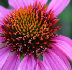 coneflower exposed