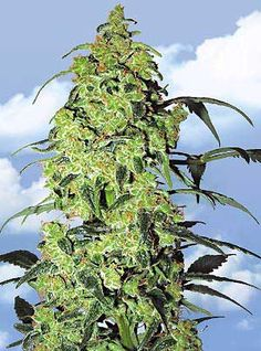 Flying Dutchmen Feminized Marijuana Seeds - White Widow