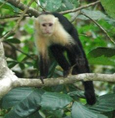 White faced monkeys are sometimes seen at Playa Ventanas. We photographed this, part of a troop of them, on the far, southern end of the beach. New World Monkey, Most Beautiful Beaches, Primates, South Pacific, Ecology, Costa Rica, Nature Photography, Monkeys, Animals