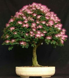 # BONSAI TREE- MIMOSA