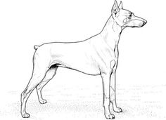 dog color pages printable | Doberman Pinscher coloring page | Super Coloring