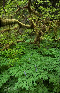 Old Growth Forest, Columbia River Gorge, Oregon By Zack Schnepf Beautiful Sites, Beautiful World, Beautiful Places, Once A Marine, Columbia River Gorge, Old Images, Go Hiking, Social Work, Natural History