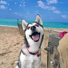 21 Times A Husky's Expression Said It All #siberianhusky