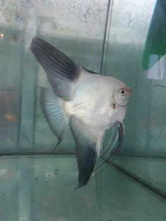 Tropical Fish Aquarium, Freshwater Aquarium Fish, Planted Aquarium, Oscar Fish, Pisces Fish, Fish Artwork, Fish Drawings, Marine Fish, Angel Fish