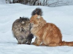 Full HD Wallpaper cat kiss couple snowfall from the category animals. Full Hd Wallpaper, Animal Wallpaper, I Love Cats, Cool Cats, Cat Couple, Winter Cat, Cat Background, Russian Red, Animal Activities