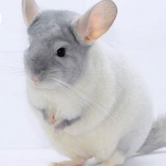 #chinchilla Guinea Pig Toys, Guinea Pig Care, Guinea Pigs, Cute Baby Animals, Animals And Pets, Funny Animals, Chinchilla Cute, Animal Pictures, Adorable Pictures