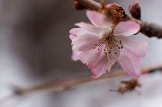 winter Cherry blossoms - 十月桜