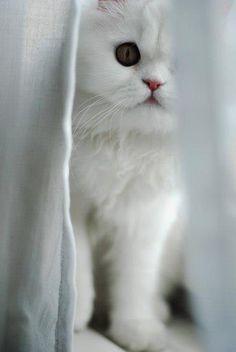 11cc790d17bd21 Des parties de cache cache avec les chats Chats Blancs, J aime Les Chats