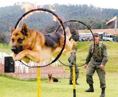 Tranquil, confident, serious and clever. GSDs are extremely faithful, and brave.   #germanshepherddogs