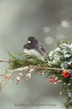 JUNCO PERCHED ON SNOW LANDEN