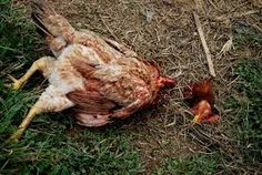 This July 2015 article by the New York Times Editorial Board has been rewritten substituting the life of a chicken for a lion. Additional words have been changed to reflect the life of a chicke. Chicken Boy, New York Times Editorial, Vegan News, Editorial Board, July 31, Lion, Image, Leo, Lions