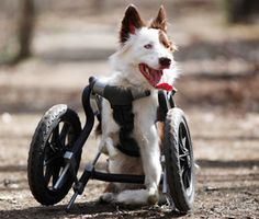 Roosevelt the Border Collie uses an unconventional wheelchair to get around -- and it's not slowing him down one bit.