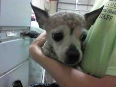 Chihuahua dog for Adoption in Tavares, FL. ADN-510587 on PuppyFinder.com Gender: Male. Age: Senior