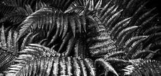 black and white fern images - Google Search