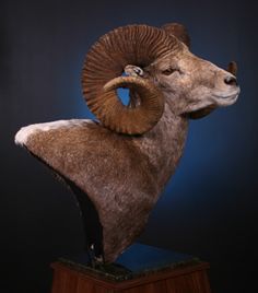 Browse the taxidermy photo gallery of the wildlife artistry performed at Zimmerman Wildlife, Martinsburg Pa Taxidermy Display, Trophy Rooms, Paper Animals, Creature Design, Sheep, North America, Photo Galleries, Wildlife, Castle