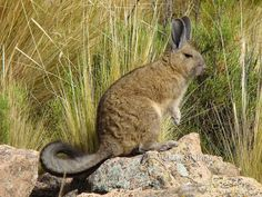 Southern Viscacha - Lagidium viscacia Not a lagomorph, but a rodent, more closely related to chinchillas. Like all mountain viscachas, the Southern Viscacha is a gregarious species that forms small to very large colonies, comprising one or more family groups. This herbivorous species is specialized and restricted to rocky habitats where it colonizes rock crevices. This species occurs in southern Peru, southern and western Bolivia, northern Chile and western Argentina.