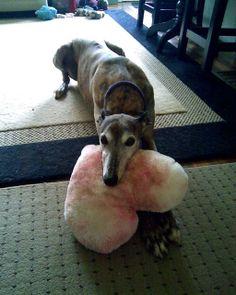 ~ ❤ ~ Greyhounds