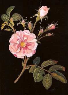 Botanical collage by Mary Delany, 1700s