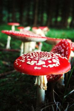 Amanita muscaria. I know they are not flowers but these are so pretty.