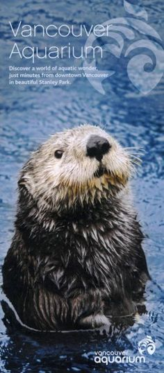Watch the adorably playful sea otters eat a tasty meal on their stomachs during this training session. Vancouver Vacation, Downtown Vancouver, North Vancouver, Vancouver Food, Seattle, Vancouver Aquarium, Otter Love, Canadian Travel, O Canada