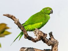 Mauritius  Parakeet aka  Echo Parrot (Psittacula eques) by David Cook.