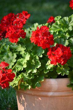 flowersgardenlove: Potted Geraniums Beautiful gorgeous pretty flowers