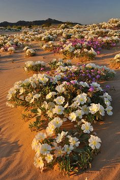 Evening primrose on the sand dunes in the Mojave Desert