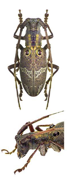 Pseudoechthistatus obliquefasciatus