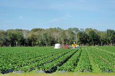Plant City Strawberry fields, Florida