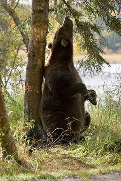 Brown bear sow scratches her back on a spruce tree, Katmai National Park, Alaska.